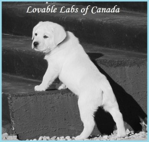 lovable labs of canada